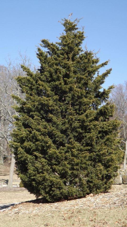 Red Cedar Tree Varieties ~ Juniperus virginiana corcorcor emerald sentinel