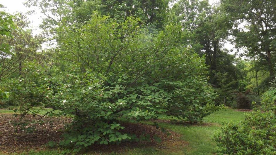 Magnolia Sieboldii Oyama Magnolia The Dawes Arboretum