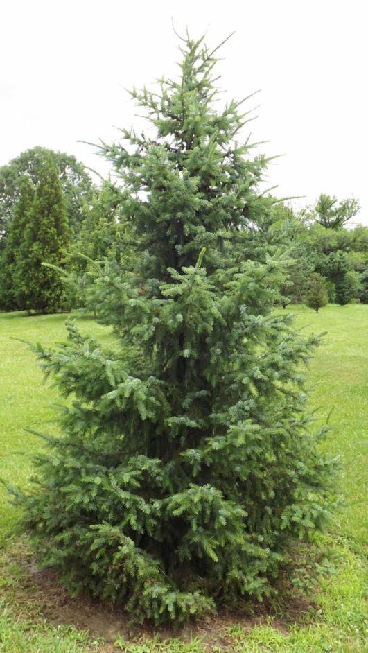 Picea omorika 'Freya' - Freya Serbian spruce | The Dawes ...