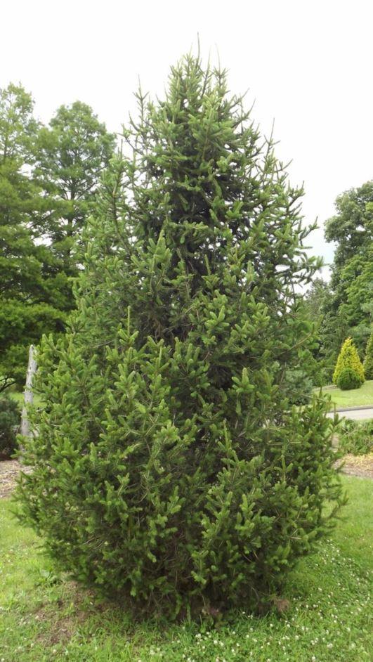 Picea Abies Pyramidata Pyramidal Norway Spruce The Dawes Arboretum