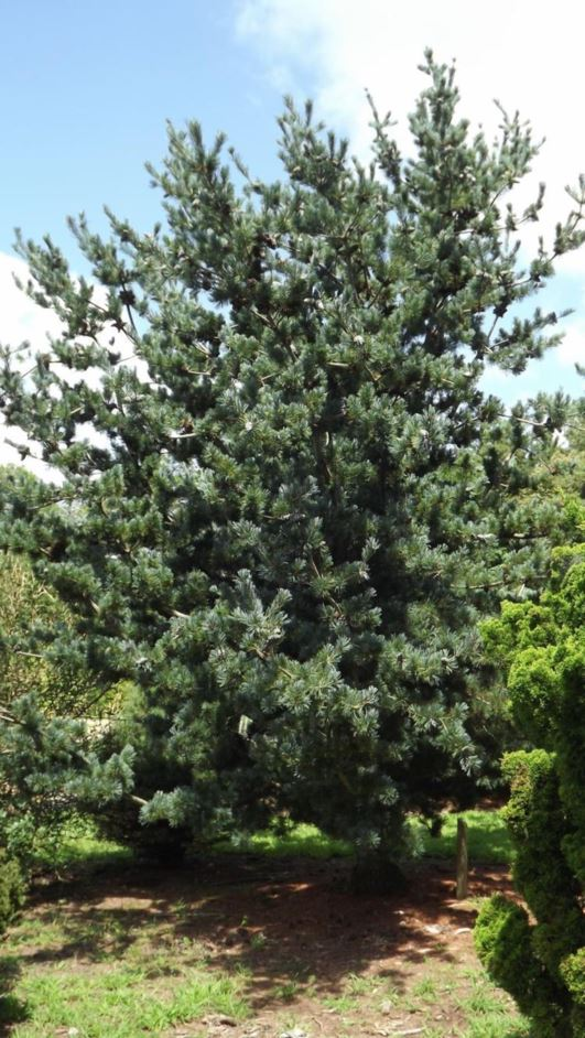 pinus parviflora  u0026 39 glauca u0026 39