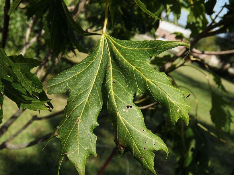Acer Platanoides Argutum Argutum Norway Maple The Dawes Arboretum