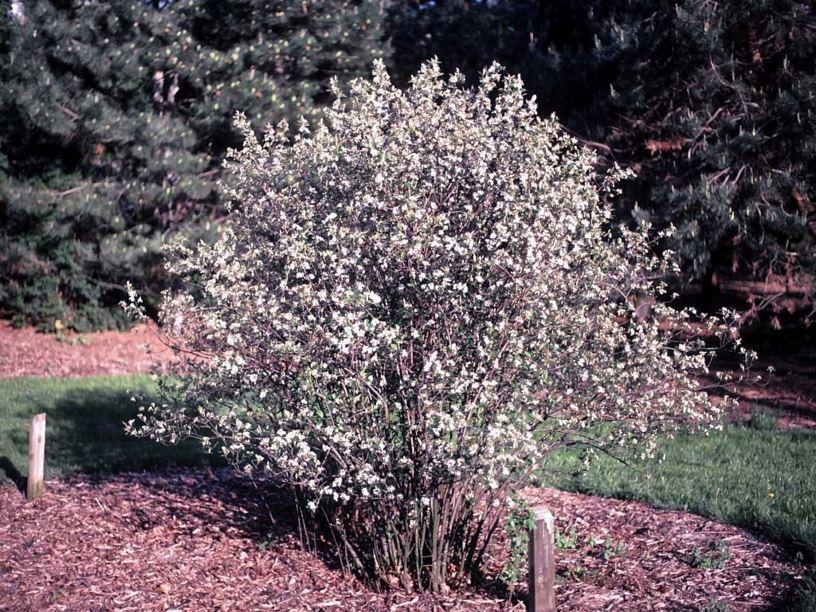 Aronia Arbutifolia Brilliantissima Brilliant Red