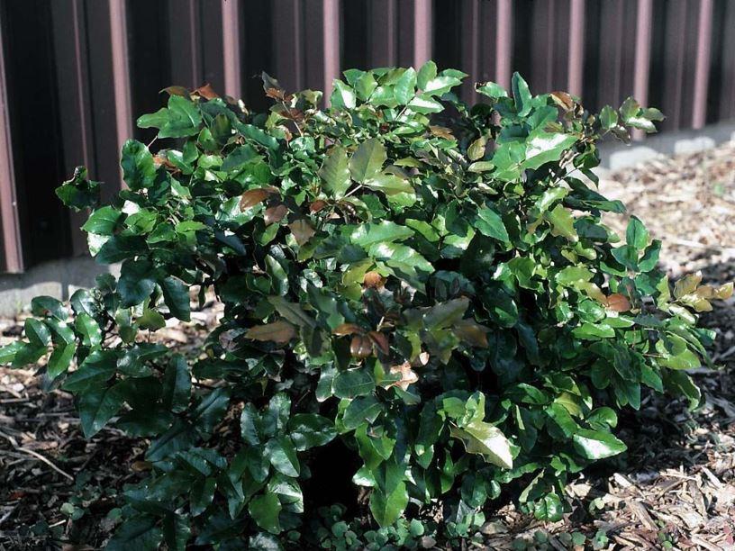 Mahonia Aquifolium Compacta Compact Oregon Grape Compact Oregon