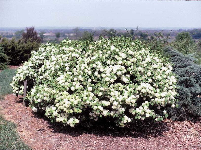 Viburnum Plicatum F Plicatum Newzam Newport 174 Newport