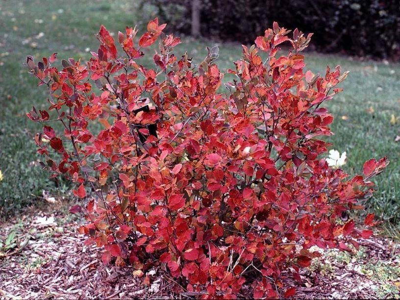 fothergilla gardenii jane platt jane platt dwarf