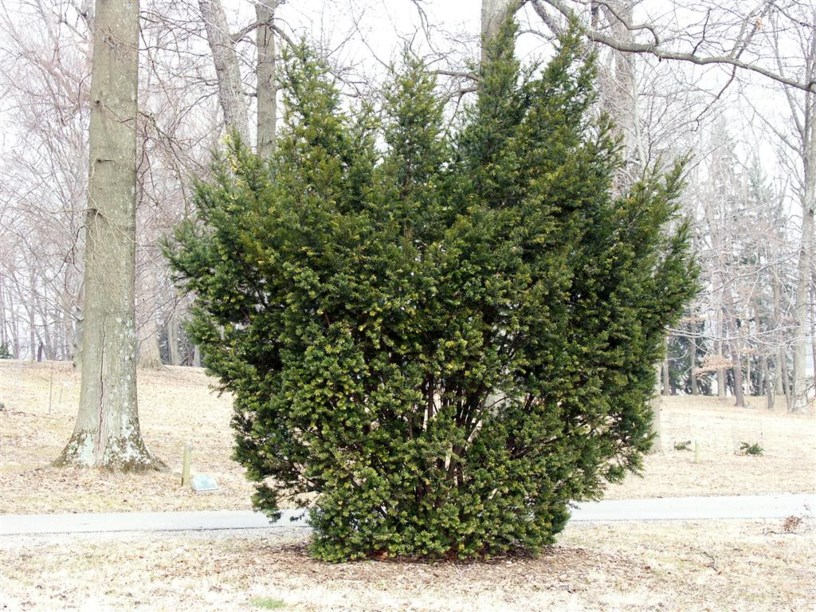 taxus media 39 hicksii 39 hicks anglo japanese yew the dawes arboretum. Black Bedroom Furniture Sets. Home Design Ideas