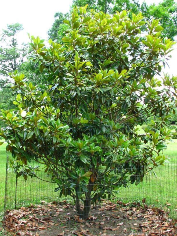 magnolia grandiflora  u0026 39 victoria u0026 39