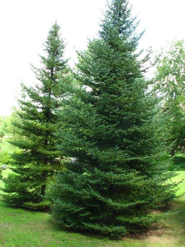Balsam Hills Christmas Tree