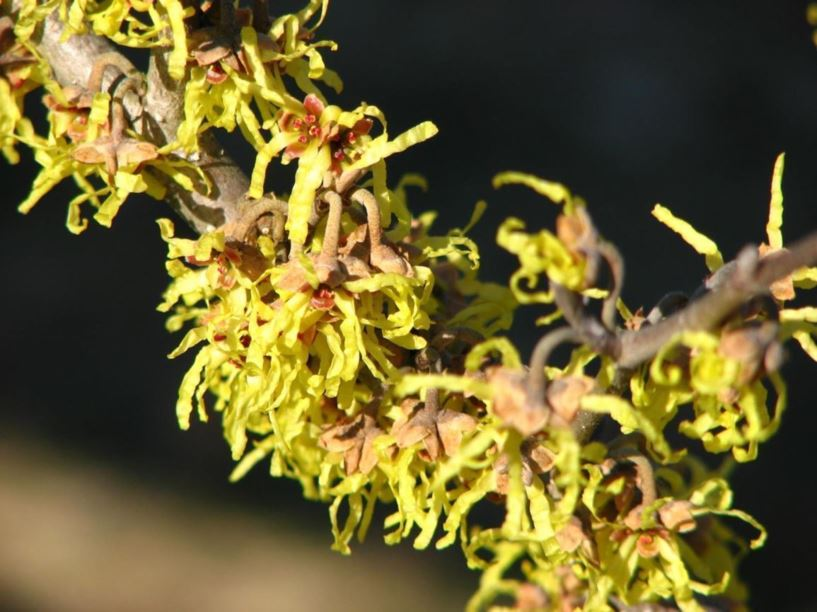 Hamamelis Japonica Brentry Brentry Japanese Witch Hazel The
