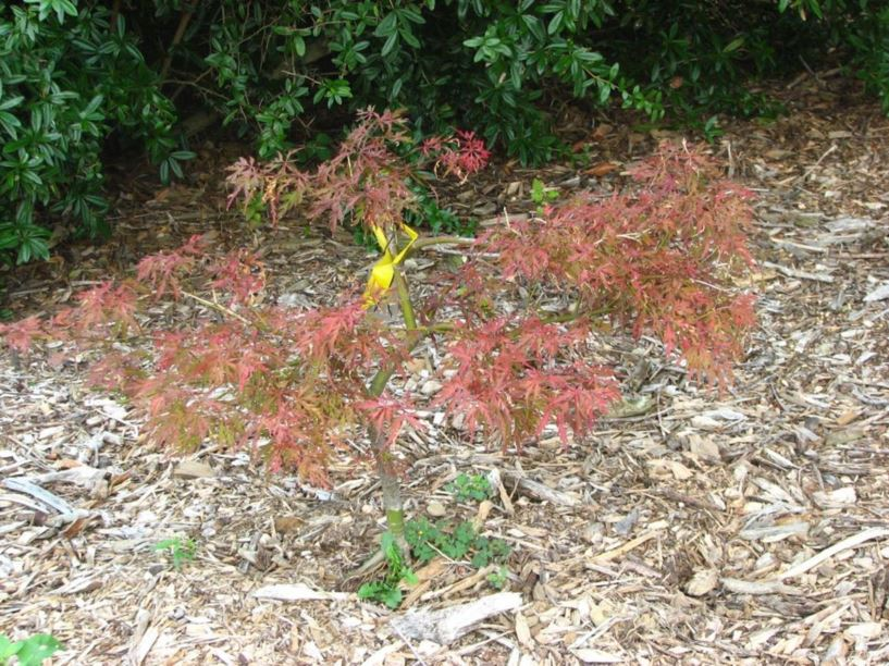 Acer Palmatum Dissectum Group Red Dragon Red Dragon Threadleaf